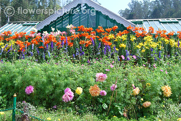 Lilium & Dahlia & Delphinium display-In front of fern house-Ooty