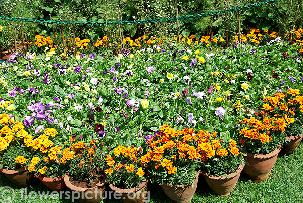 Pansy & Marigold flower decoration-Ooty flower show 2014