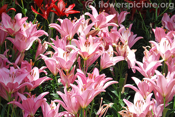 Pink lilies ooty flower show 2014