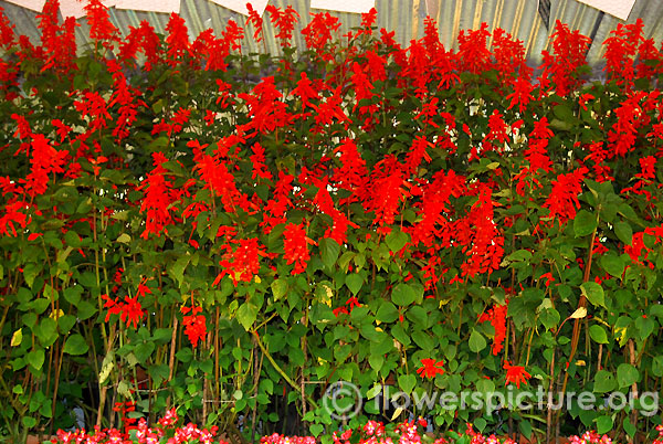 Red salvia display-Ooty flower show 2014