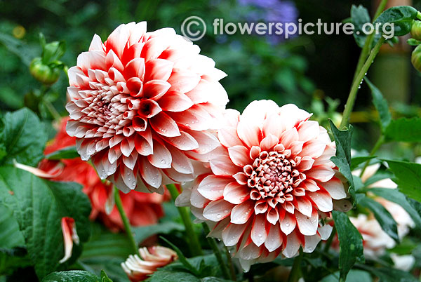 Jim dandy dahlia