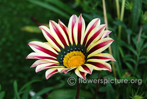 White with purple gazania daisy