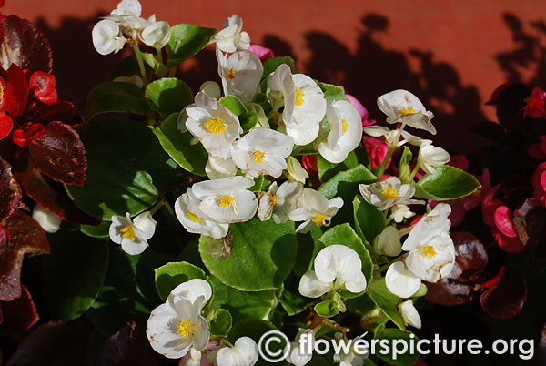 Begonia white flower