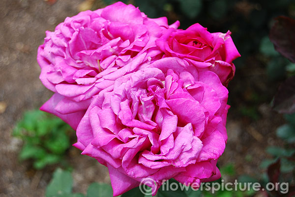 Birthday boy hybrid tea rose