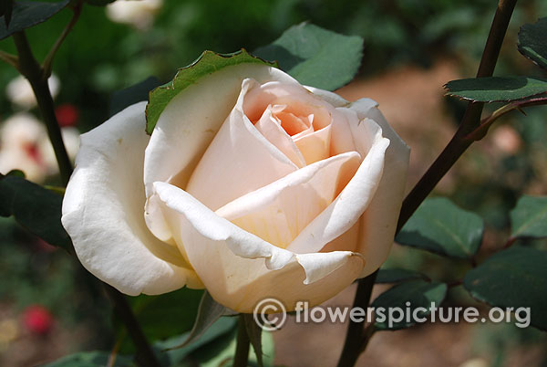Diamond jubilee rose