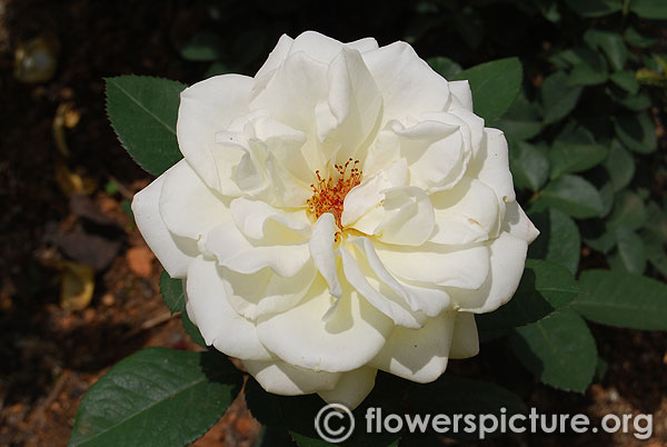 Faith whittlesey white rose