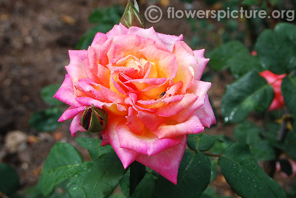 Fox trot hybrid tea rose