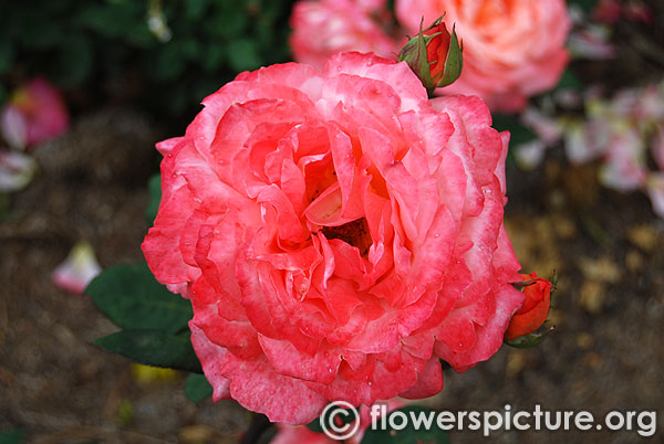 Lady waterlow rose