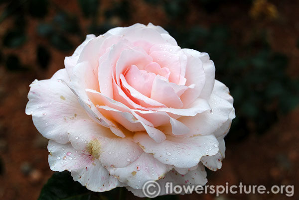 Light pink white rose