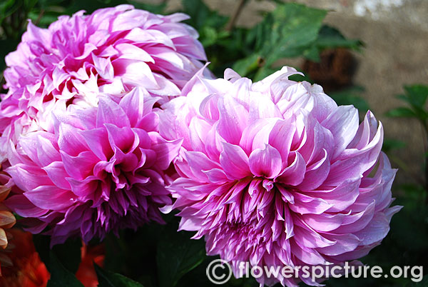 Pale purple dahlia