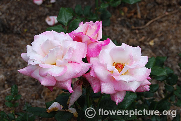 Pink white clustered rose