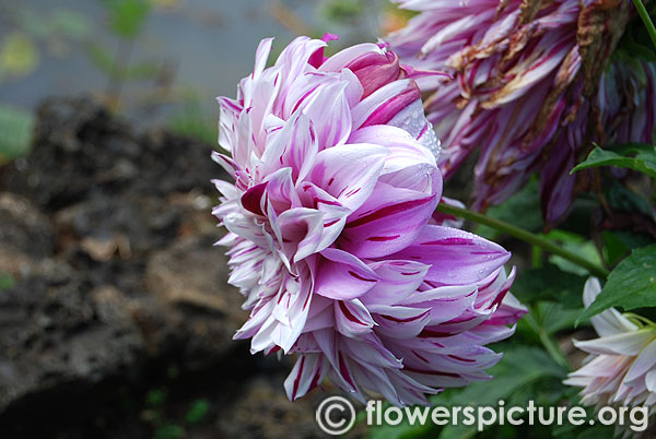 Purple splash dahlia