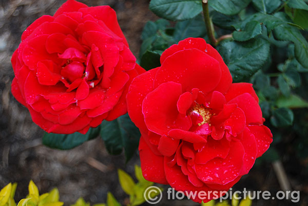 Red finesse rose