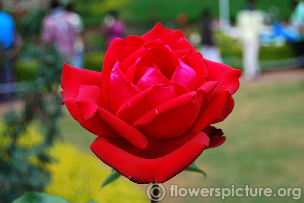Ruby wedding hybrid tea rose