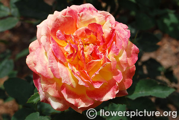 Tahitian sunset rose