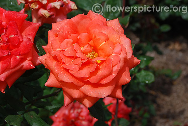Tropical amazon rose