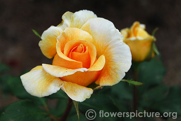Yellow white bicolour rose