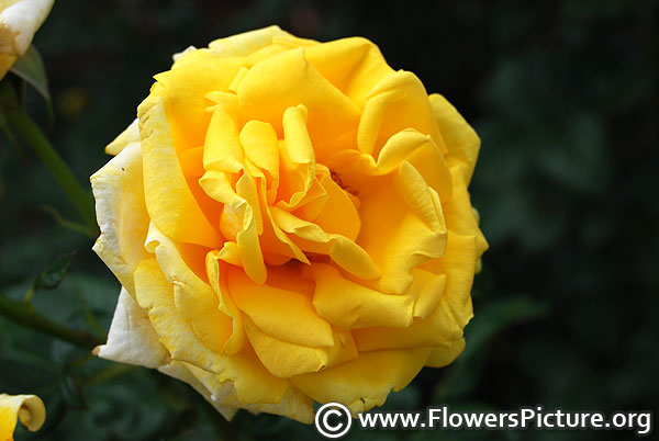 Absolutely fabulous yellow rose