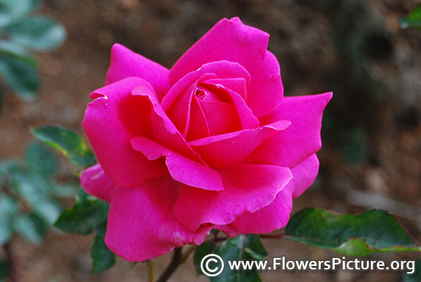 All my loving hybrid tea rose