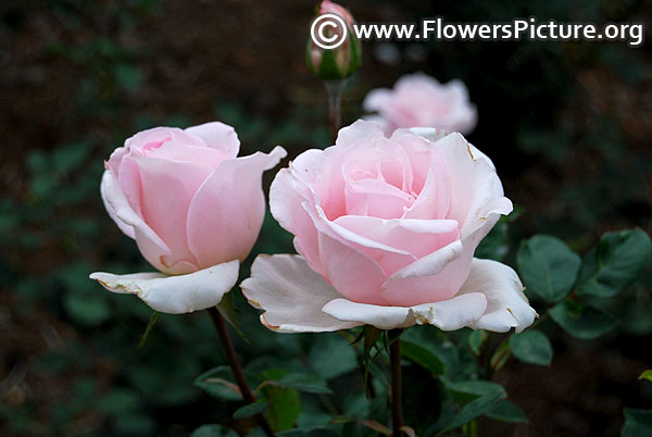 Baby pink rose ooty 2017
