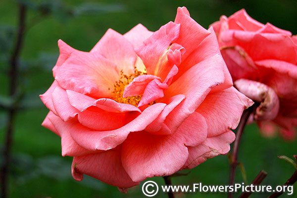 Beaute inconstante pink rose