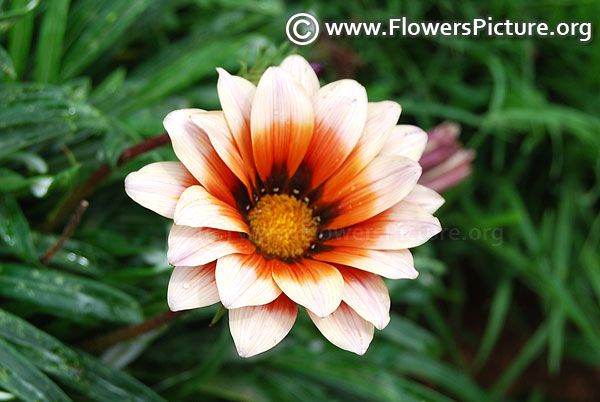 beige & chocolate gazania