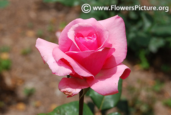 Bewitched pink rose