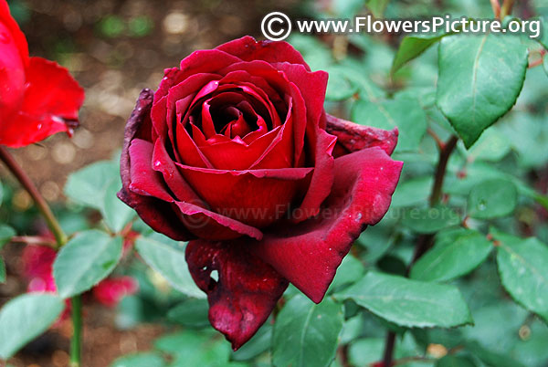 Black boy rose