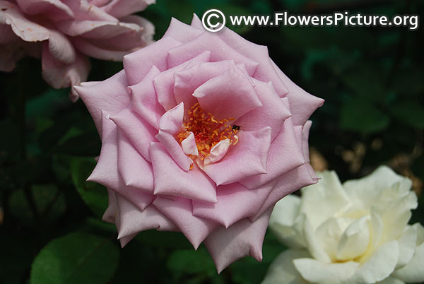 Climbing blue moon rose