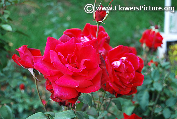 Clustered red rose