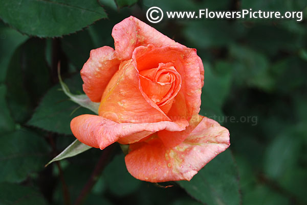 Coral colour rose bud