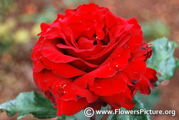 Desmond tutu red rose