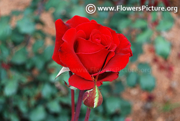 Eternity red rose ooty