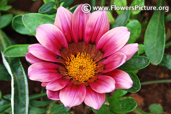 Gazania new day strawberry shortcake