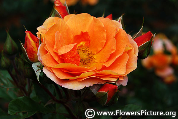 Gingersnap rose