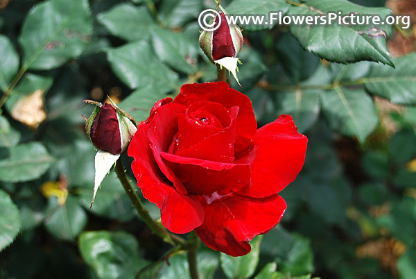 Glad tidings floribunda rose