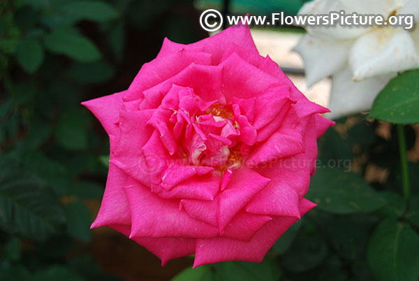 Gloriana rose