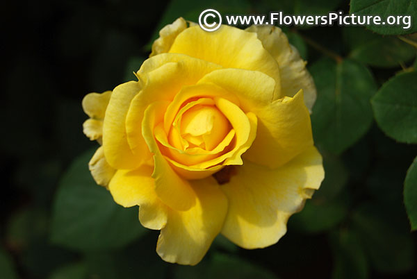 Gold strike rose