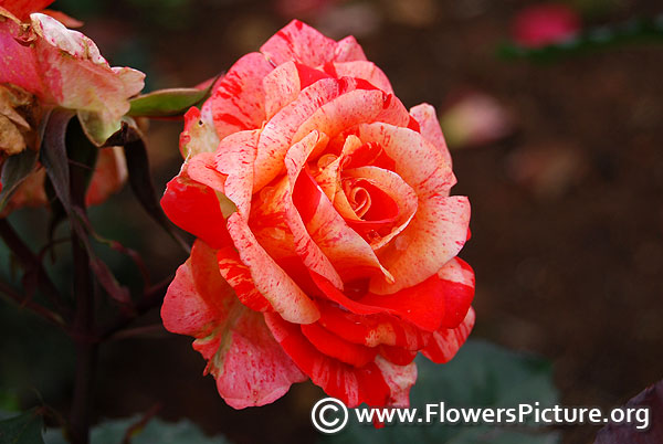Harry hybrid tea rose