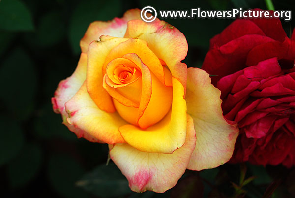 High and flame rose