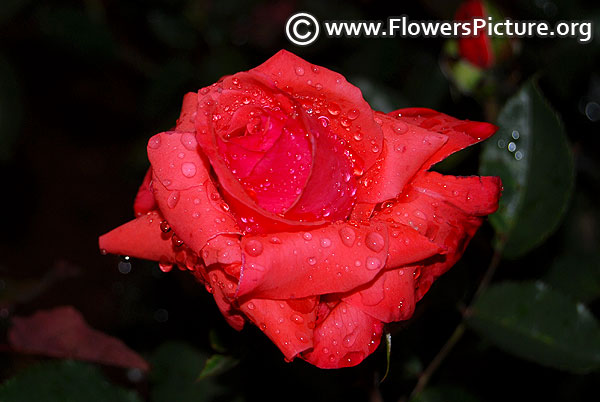 Impulse rose ooty