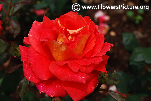 Ketchup and mustard rose ooty 2017