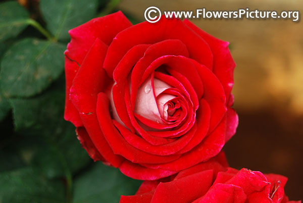 New fashion red and white rose
