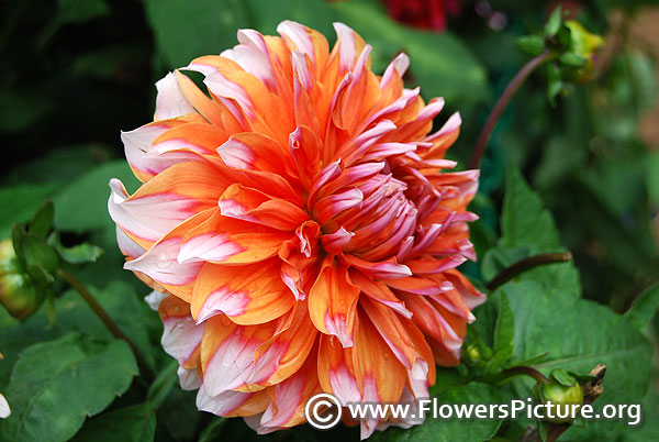 Orange and white dahlia