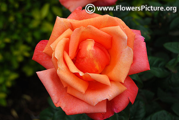 orangered rose