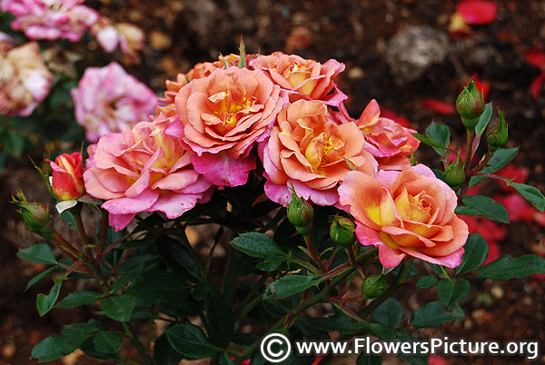 Polynesian punch rose