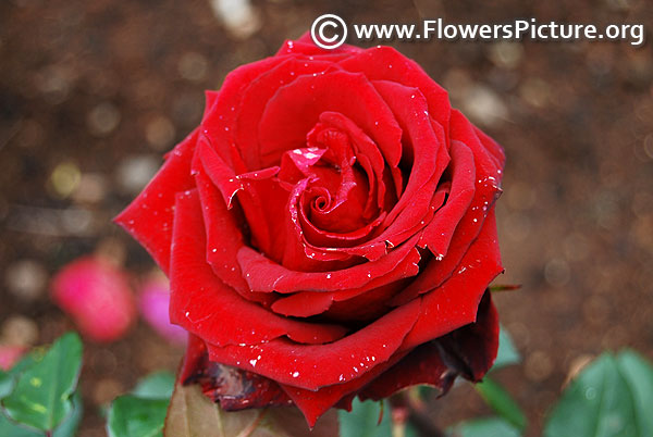 Pride of england hybrid tea rose