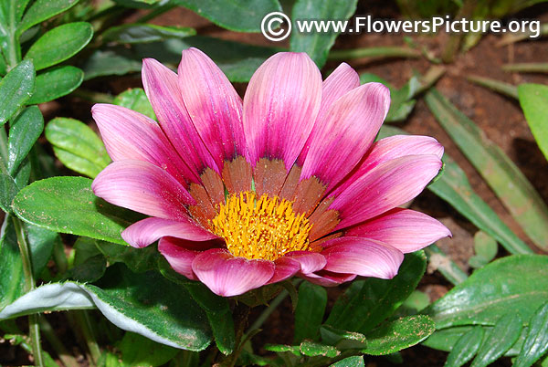 Purple gazania flower