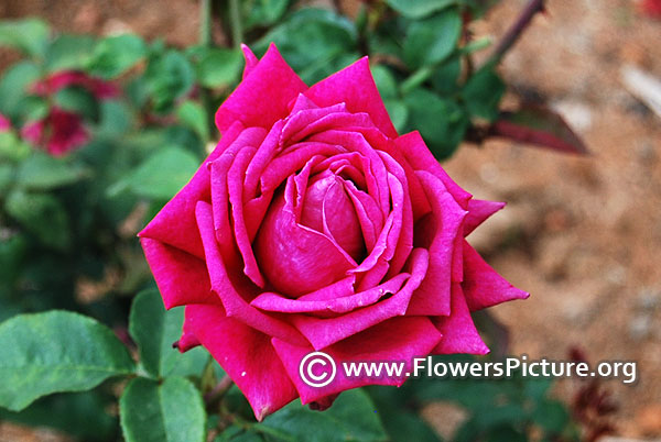 Purple hybrid tea rose