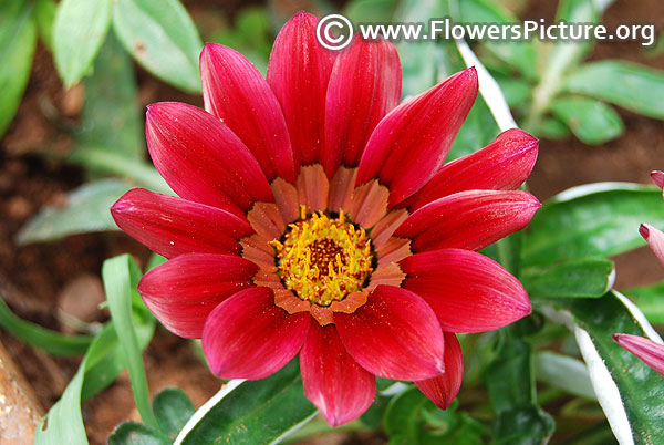 Raspberry red gazania